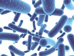 Probiotic bacteria: new species