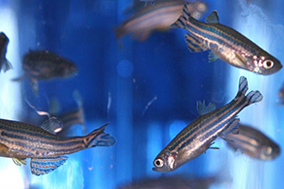 Effects of microgravity simulation on zebrafish transcriptomes and bone physiology